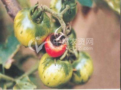 五彩西红柿