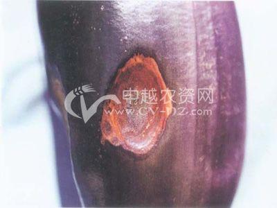 茄子蠕孢褐斑病