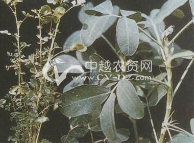 花生丛枝病