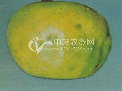 苹果绿缩果病