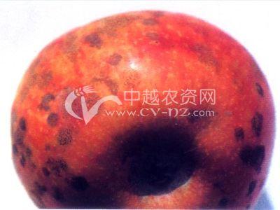 苹果蝇粪病和煤污病