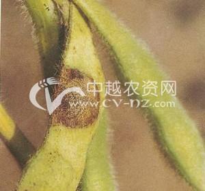 大豆炭疽病