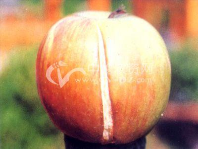 苹果裂果病