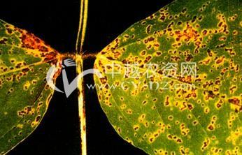 大豆细菌性斑疹病