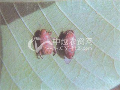 斑喙丽金龟