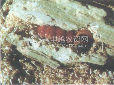 芳香木木蠹蛾