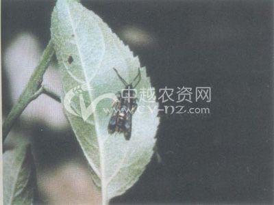 海棠透翅蛾