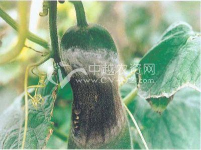 冬瓜镰孢褐腐病