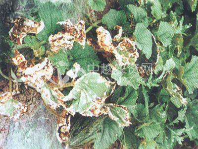 甜瓜细菌果斑病