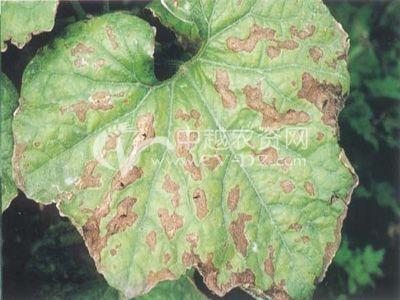 蛇瓜瓜链格孢黑斑病