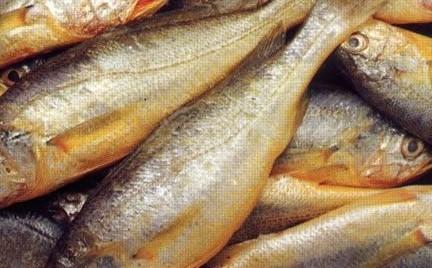 如何提高大黄鱼饲料利用率