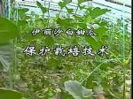 甜瓜保护栽培技术