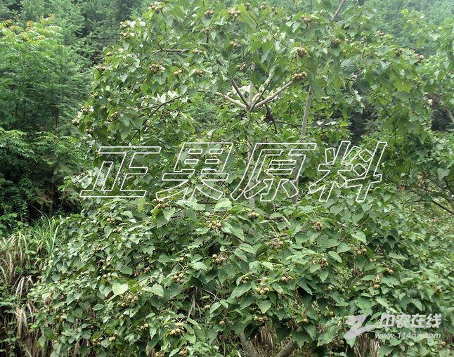 广西碳桐树图片