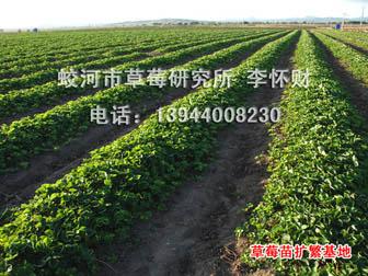 蛟河市草莓研究所出售草莓生产苗,穴盘苗、裸根苗都有