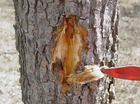 杨树腐烂病的防治