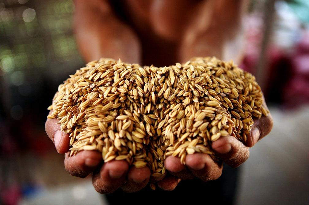 常规稻种子与杂交稻种子的区别