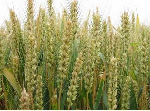 冬小麦七种情况会出现弱苗