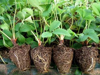 出售2015年春季优质草莓种苗,品种全质量优,预定秋季生产苗