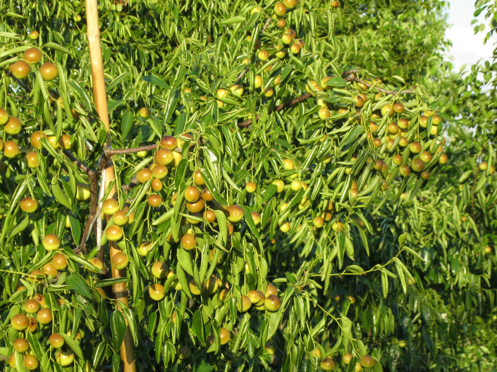 成熟期提前一个月价格高了一大截 大荔冬枣怎样卖到每斤100元