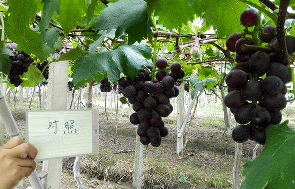 叶佳美crop100--生物源作物潜能激活剂 在葡萄上的表现