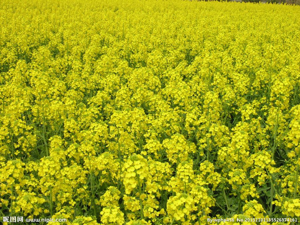 早春油菜病虫害发生提前 程度重于常年