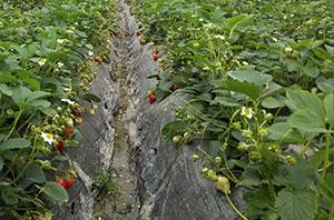 全是福用在草莓上叶片增绿 肥料吸收均匀