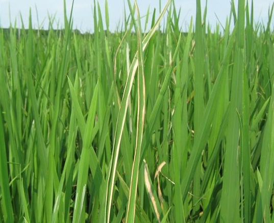 水稻细菌性条斑病