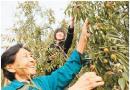 农民不种粮食种冬枣 粮农如何变成了枣农