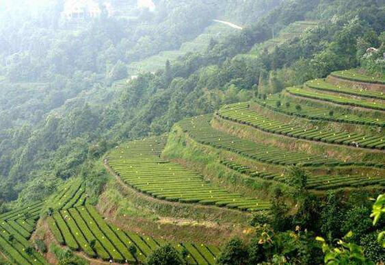 石门县:小茶叶趟出扶贫大路径