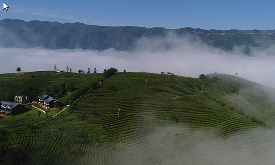 陕西镇巴:茶产业成为农民脱贫的金钥匙