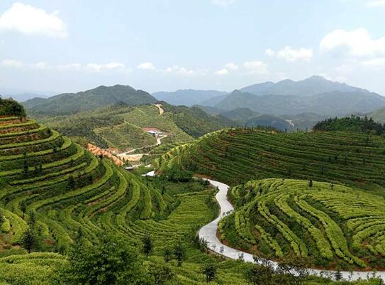 江西兴国:生态茶园富村民