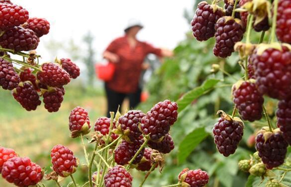 山东沂源:莓果飘香富农家