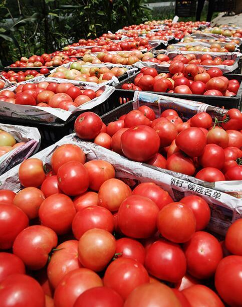 重庆黔江:扶贫生态菜为农增收