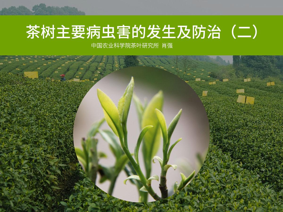 茶树主要病虫害的发生及防治二
