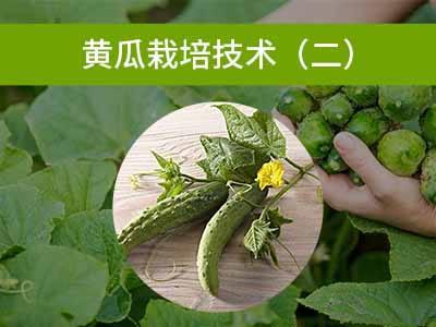 黄瓜栽培技术二