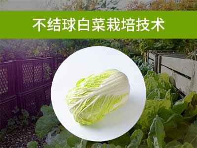 叶菜类栽培技术(一):不结球白菜栽培技术