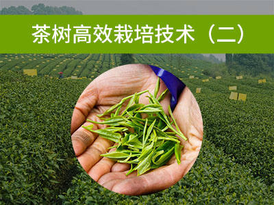 茶树高效栽培技术二