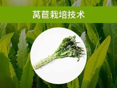 叶菜类栽培技术二:莴苣栽培技术