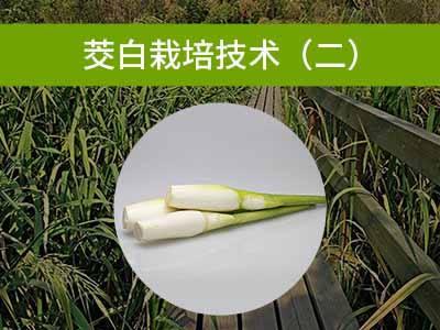 茭白栽培技术二