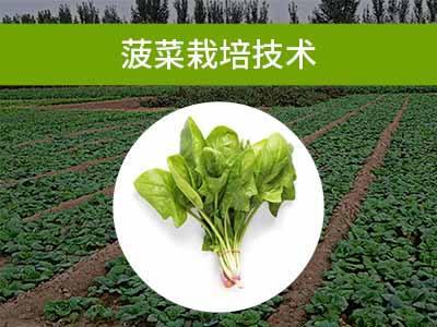 叶菜类栽培技术三:菠菜栽培技术