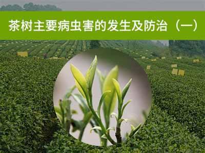 茶树主要病虫害的发生及防治一