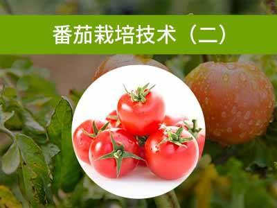 番茄栽培技术二