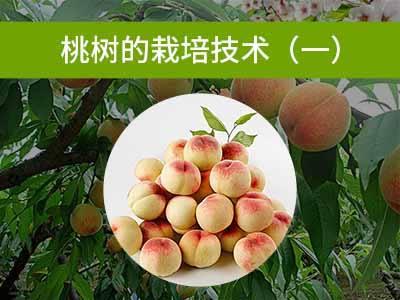 桃树的栽培技术一