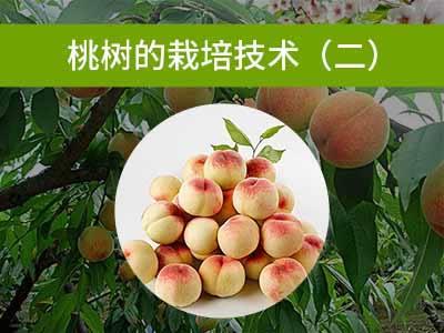 桃树的栽培技术二