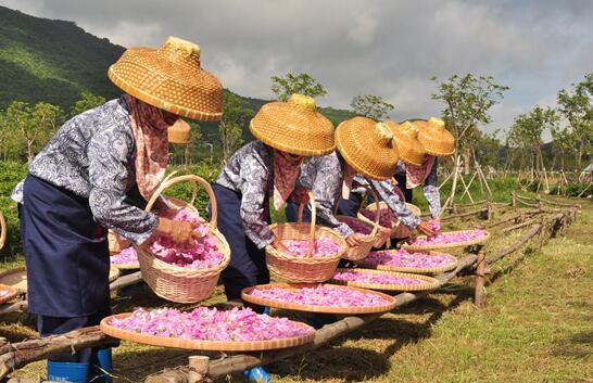 三亚大茅村:玫瑰铺就小康路