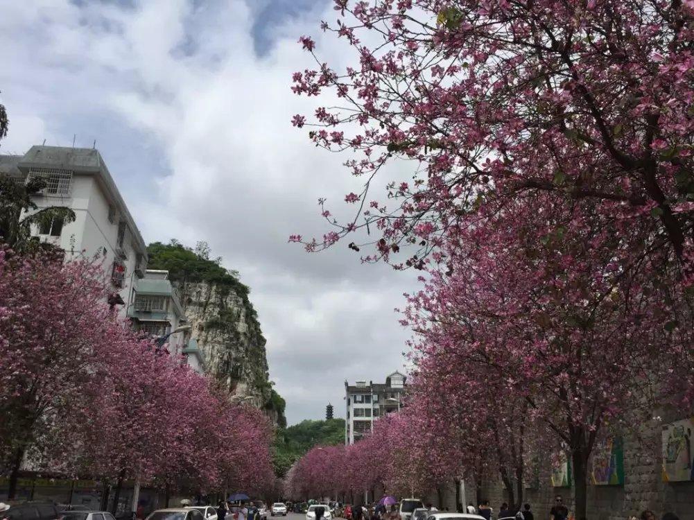 2000亩宫粉紫荆/洋紫荆/花羊蹄甲红花夹竹桃柳树牛大力