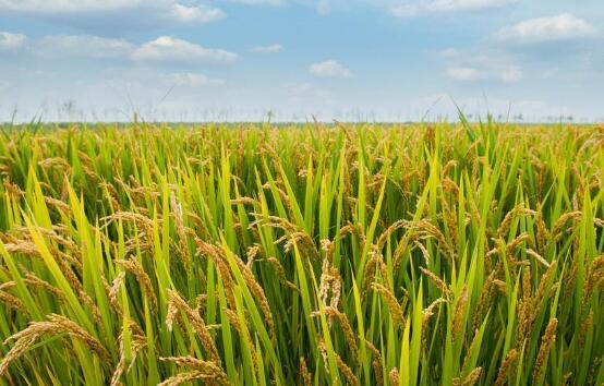 浙江超级稻百亩方亩产首破1000公斤