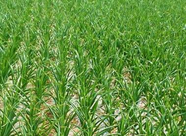 春季大蒜肥水升级管理窍门