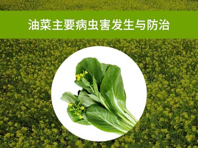 油菜主要病虫害绿色防控技术