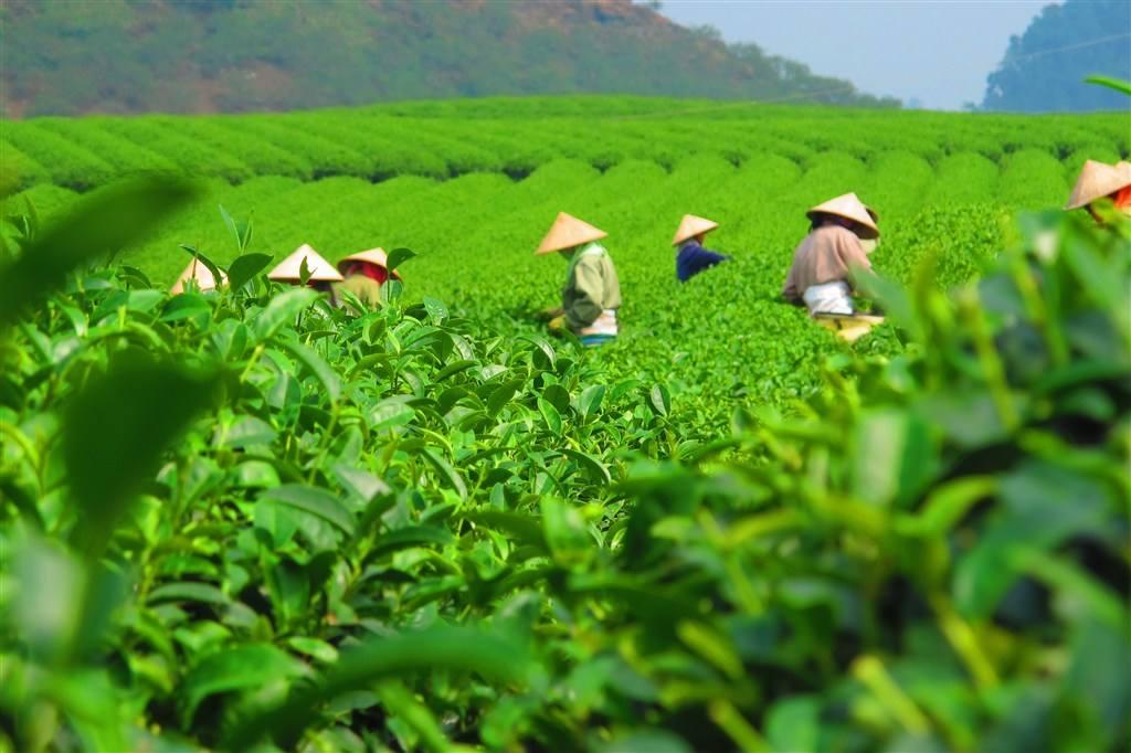 小小茶叶 托起农户致富增收梦